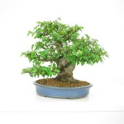 achat vente shohin bonsai 13
