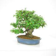 achat vente shohin bonsai 14