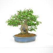 achat vente shohin bonsai 16
