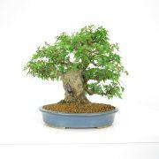 achat vente shohin bonsai 17