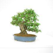achat vente shohin bonsai 18