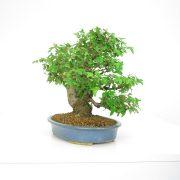 achat vente shohin bonsai 19