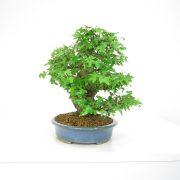 achat vente shohin bonsai 20