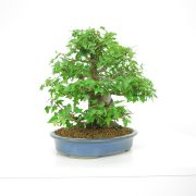 achat vente shohin bonsai 21
