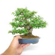 achat vente shohin bonsai 22