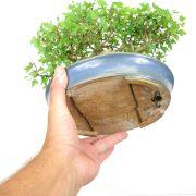 achat vente shohin bonsai 23