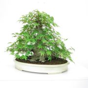 achat vente shohin bonsai 25