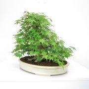achat vente shohin bonsai 26