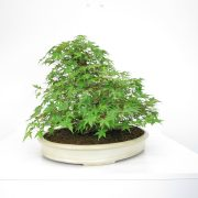 achat vente shohin bonsai 28