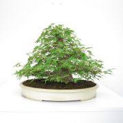 achat vente shohin bonsai 29