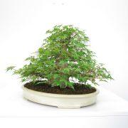 achat vente shohin bonsai 30
