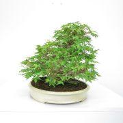 achat vente shohin bonsai 31