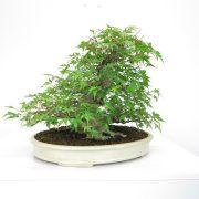 achat vente shohin bonsai 32