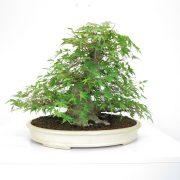 achat vente shohin bonsai 33