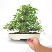 achat vente shohin bonsai 34