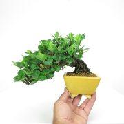 achat vente shohin bonsai 40