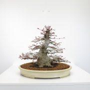 achat vente shohin bonsai 41