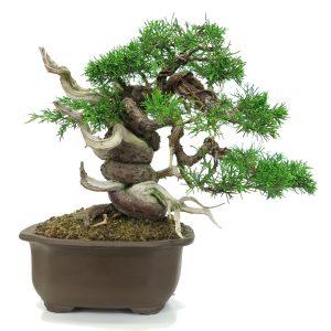 juniperus torsade