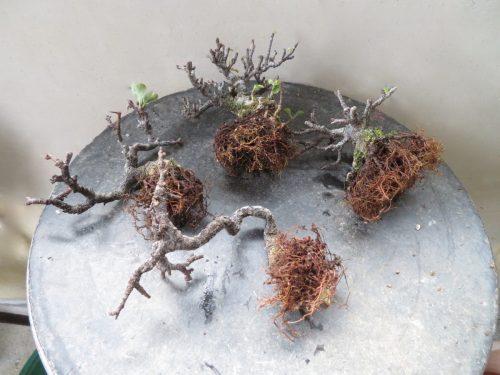 chojubai racines nues