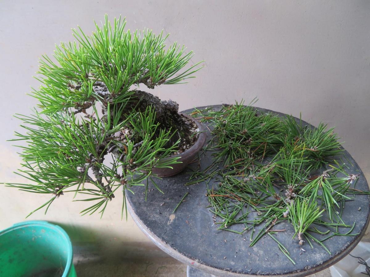 http://bonsai-shohin.com/wp-content/uploads/2017/10/desaiguillage-pin-noir.jpg