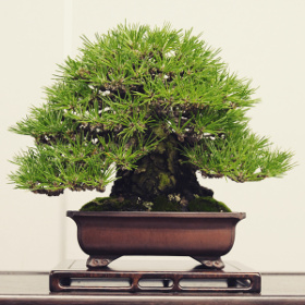 fiche descriptive pin noir kuromatsu
