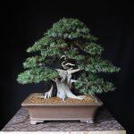 juniperus rigida après