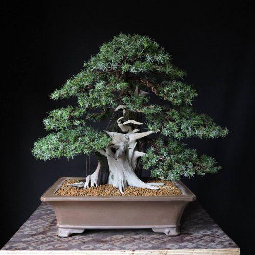 juniperus rigida après travaux