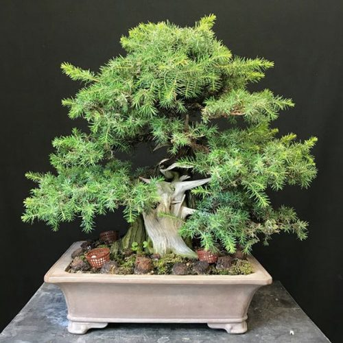 juniperus rigida avant