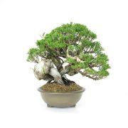 achat vente bonsai 002