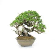 achat vente bonsai 003