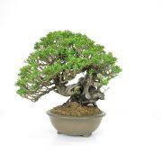 achat vente bonsai 007
