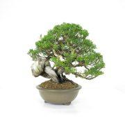 achat vente bonsai 010