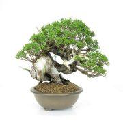 achat vente bonsai 011
