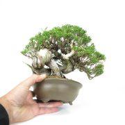 achat vente bonsai 012