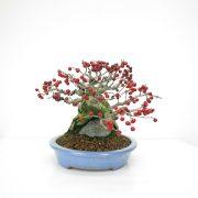 achat vente bonsai 019
