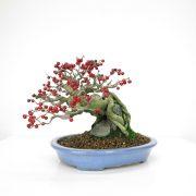 achat vente bonsai 020