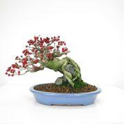 achat vente bonsai 021