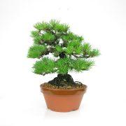 achat vente bonsai 05