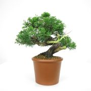 achat vente bonsai 066