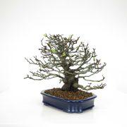 achat vente bonsai 09