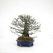 achat vente bonsai 10