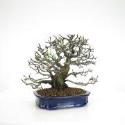 achat vente bonsai 11