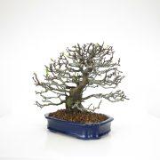 achat vente bonsai 12