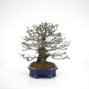 achat vente bonsai 13