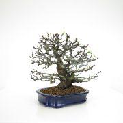 achat vente bonsai 14