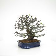 achat vente bonsai 15