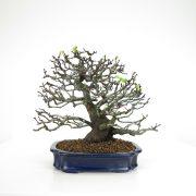 achat vente bonsai 16