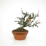 achat vente bonsai 19