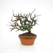achat vente bonsai 20