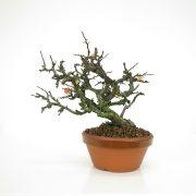 achat vente bonsai 21